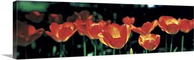 Tulips Sherwood Gardens Baltimore MD