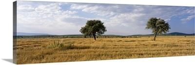 Turkey, Central Anatolia, wheat feild