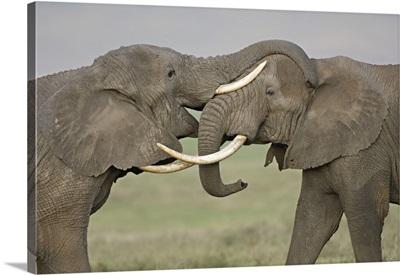 Two African elephants fighting in a field, Ngorongoro Crater, Arusha Region, Tanzania (Loxodonta africana)