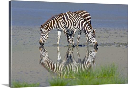Two zebras drinking water from a lake, Ngorongoro Conservation Area, Arusha Region, Tanzania (Equus burchelli chapmani)