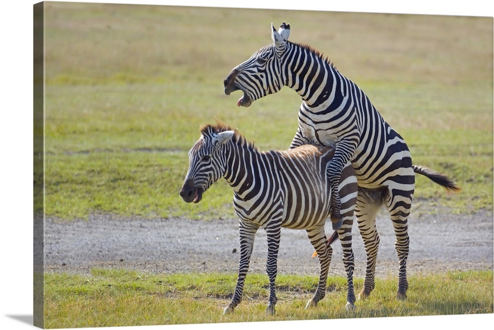 Two Zebras Mating Lake Nakuru Kenya Wall Art Canvas Prints