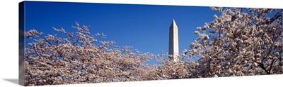 US, Washington DC, Washington Monument with Cherry Blossoms
