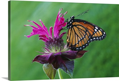 Viceroy butterfly (Limenitis archippus) on bee balm flower blossom, selective focus, Michigan