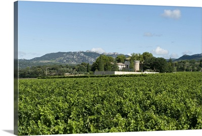 Vine crop in a field, Carpentras, Vaucluse, Provence-Alpes-Cote d'Azur, France