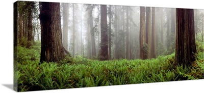Vine Maple (Acer circinatum) trees in a forest, Mt Hood, Oregon