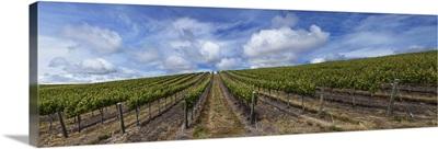 Vines in a vineyard, San Luis Obispo, San Luis Obispo County, California