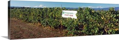 Vines of Pinot Noir grape in a vineyard, Hood River Valley, Oregon