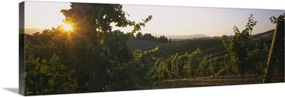 Vineyard at sunset, Napa Valley, California