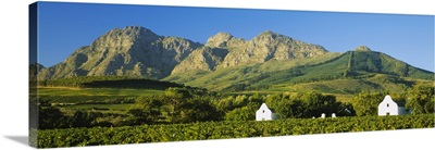 Vineyard in front of mountains, Babylons Torren Wine Estates, Paarl, Western Cape, Cape Town, South Africa