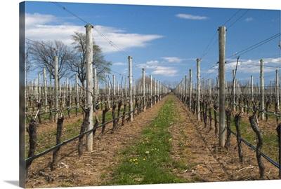 Vineyard in spring, Cutchogue, Suffolk County, Long Island, New York State