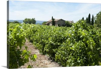 Vineyard, Luberon, Vaucluse, Provence-Alpes-Cote d'Azur, France