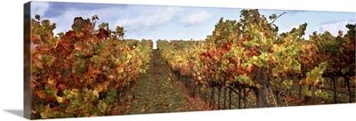 Vineyard, Napa Valley, California