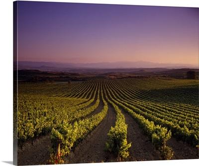 Vineyard on a landscape at dusk, St. Tropez, Provence, Provence-Alpes-Cote Dazur, France