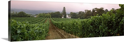 Vineyard with a Cape Dutch style house in the background, Vergelegen, Capetown near Somerset West, Western Cape Province, South Africa