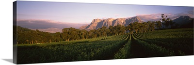 Vineyard with Groot Drakenstein mountains in the background, Cape Winelands, Western Cape Province, South Africa
