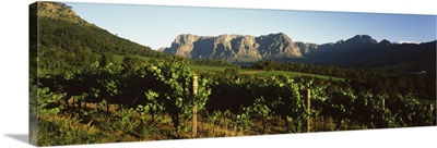 Vineyard with Groot Drakenstein mountains in the background, Stellenbosch, Cape Winelands, Western Cape Province, South Africa