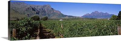 Vineyard with mountain range in the background, Franschhoek Valley, Franschhoek, Western Cape Province, South Africa