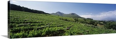 Vineyard with Paarl Mountain in the background, Simonsberg, Paarl, Cape Winelands, Western Cape Province, South Africa