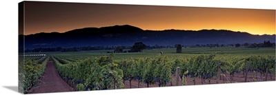 Vineyards on a landscape, Napa Valley, California