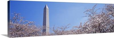 Washington Monument behind cherry blossom trees, Washington DC