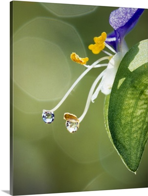 Water drops on Spiderwort flowers