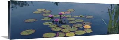 Water lilies in a pond, Denver Botanic Gardens, Denver, Colorado