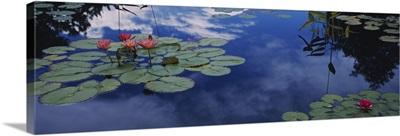 Water lilies in a pond, Denver Botanic Gardens, Denver, Denver County, Colorado