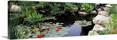 Water lilies in a pond, Sunken Garden, Olbrich Botanical Gardens, Madison, Wisconsin