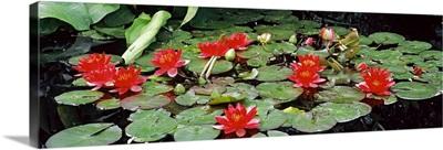 Water lilies in a pond, Sunken Garden, Olbrich Botanical Gardens, Madison, Wisconsin,