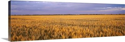 Wheat crop in a field, North Dakota