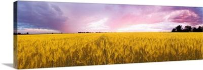 Wheat crop in a field, Saint-Blaise-sur-Richelieu, Quebec, Canada