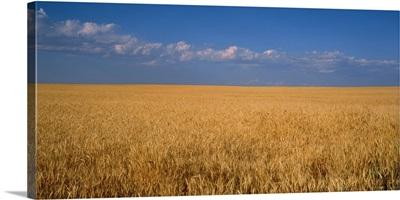 Wheat crop in a field, Wellington, Larimer County, Colorado