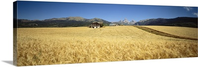 Wheat crop in a field with mountain range in the background, Grand Teton, Grand Teton National Park, Wyoming