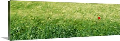Wheat Field Rothenburg Germany
