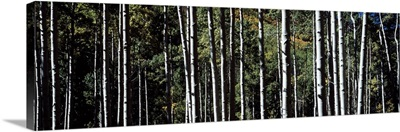 White Aspen Tree Trunks CO
