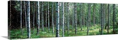 White Birches Aulanko National Park Finland