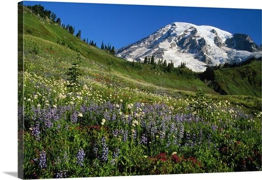 Wildflowers blooming in front of snowy Mount Rainier, Washington