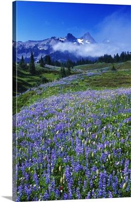 Wildflowers blooming in meadow, distant Tattoosh Mountain range in fog, Mount Rainier National Park, Washington