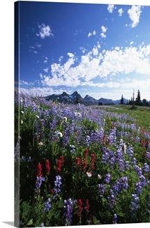 Wildflowers blooming in meadow, distant Tattoosh Mountain range, Mount Rainier National Park, Washington, united states,
