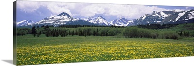 Wildflowers in a field, East Glacier Park, US Glacier National Park, Montana