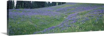 Wildflowers in a field, Mt Rainier National Park, Washington State