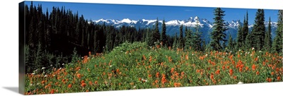 Wildflowers in a field, Mt Revelstoke National Park, British Columbia, Canada