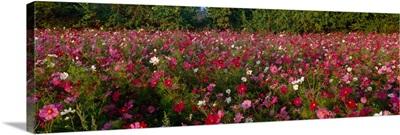 Wildflowers in a field, NCDOT Wildflower Program, Henderson County, North Carolina