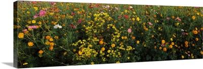Wildflowers in a field, NCDOT Wildflower Program, Macon County, North Carolina