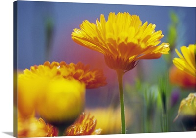 Wildflowers in bloom, soft focus close up, Oregon, united states,