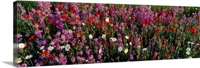 Wildflowers, NCDOT Wildflower Program, Buncombe County, North Carolina