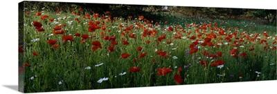 Wildflowers, NCDOT Wildflower Program, Swain County, North Carolina