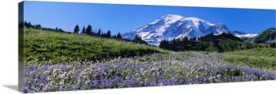 Wildflowers on a landscape, Mt Rainier National Park, Washington State