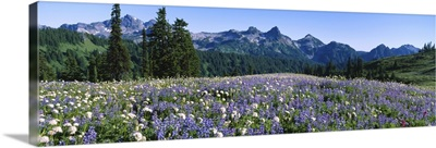 Wildflowers on a landscape, Tatoosh Range, Mt Rainier National Park, Washington State