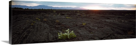 Wildflowers on a volcanic landscape Craters Of The Moon National Park Idaho